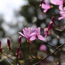ミツバツツジの育て方 植え方は!必ず咲かせるには