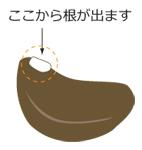 朝顔 種2_150